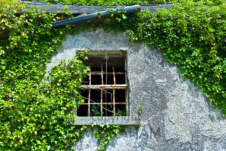 Derelict cottage for sale in need of renovation covered in ivy and other creepers in Fethard-on-Sea, Co. Wexford, Ireland