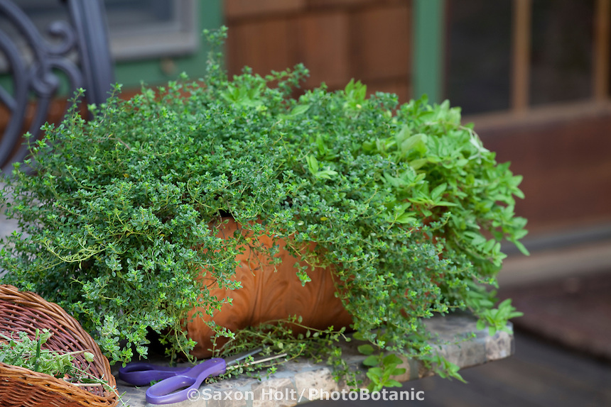 Snipping fresh organic culinary herbs, oregano, from terracotta container on table in backyard garden