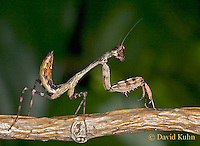 "0318-07mm  Budwing Mantis ""Nymph"" - Parasphendale agrionina ""Nymph"" © David Kuhn/Dwight Kuhn Photography"