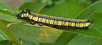 Caterpillar Trichordestra legitima insect pest, plant eating bug, Striped Garden Caterpillar  larvae moth, Noctuidae, on plant that also has leaf rust disease, orange spots on leaves