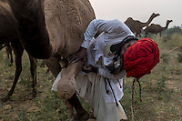 A camel owner ties one of the legs of a camel so that it cannot run fast. Pushkar fair.  Rajasthan, India.