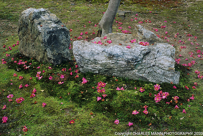Camellia blossoms fall in a random pattern on a mossy  field beside a stone and create a very Zen like atmosphere of random beauty.