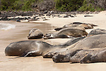 Santa Fe Island, Galapagos, Ecuador; Galapagos Sea Lions (Zalophus wollebaeki) laying in the sand on the beach at the edge of a lagoon on the eastern side of Santa Fe Island , Copyright © Matthew Meier, matthewmeierphoto.com All Rights Reserved