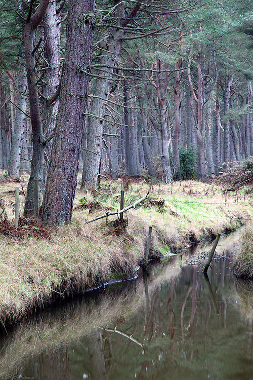 Pine Trees and Water in Tentsmuir Forest Tayport Fife Scotland