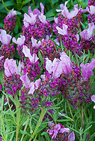 Lavandula stoechas 'Little Bee Rose'  pink Spanish Lavender herb in flowers