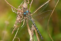 339650012 a wild male swamp darner dragonfly epiaeschna heros perches on a dead twig in jasper county texas