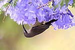 Shinning Sunbird, Cinnyris habessinica, female, hanging under flower feeding, Gondar, Ethiopia, endemic to NE Africa.Africa....