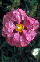 Cistus x purpureus single pink flower with dewdrops