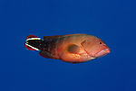 Moorea, French Polynesia; Flagtail Grouper (Cephalopholis urodeta), solitary, found in variable reef habitats to 60 meters, in the Indo-Pacific Ocean region, E. Africa to French Polynesia. S.W. Japan to Australia, to 27 cm , Copyright © Matthew Meier, matthewmeierphoto.com All Rights Reserved