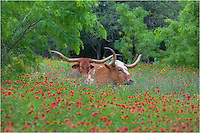 This pair of Texas Hill Country longhorns was taken near Llano, Texas, in a field of wildflowers on a mild spring afternoon. I've always felt this photo represents well Texas in flower season.