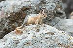 Persian Squirrel, Sciunus anomalus, Lesvos Island, Greece, endemic, IUCN Red List of Threatened Species , lesbos
