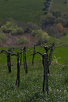 Vigneto. Vineyard...