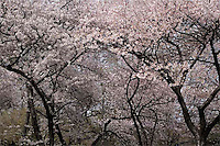 Cherry Blossoms Welcome Spring in Central Park