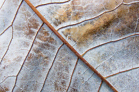 Close up view of the intricate and magnificent structure and beauty of autumn leaves.