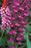 Dactylorhiza foliosa  aka D. maderensis, with Primula vialii, orchid closeup of flowers, terrestrial hardy orchid, easy to grow, Leafy Orchid, Richly-Leaved Orchid. Native to Madeira. Magenta pink colored blooms, many little flowers on single spike, close up macro.