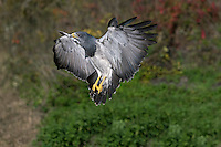 Black-chested Buzzard-Eagle (Geranoaetus melanoleucus)  landing. Captivity.