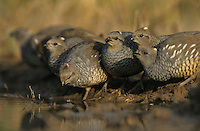 Scaled Quail, Callipepla squamata,group at pond drinking, Starr County, Rio Grande Valley, Texas, USA, May 2002