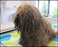 BNPS.co.uk (01202 558833)Pic: RSPCA/BNPS<br /> <br /> Very Unhappy - Happy the Shih-tzu after being rescued from vet Kerstin Vockert by the RSPCA.