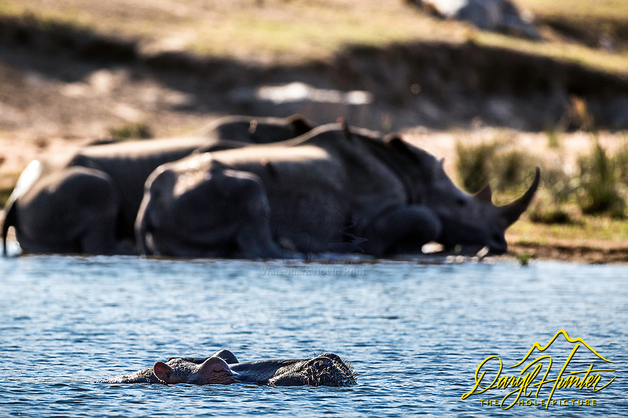 A hippo's world at the watering hole. Rhinos cool off on the shore and all the animals of the bushveld come in for a drink. Kruger National Park, South Africa