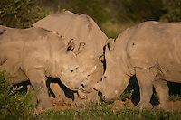 Three adolescent white rhinos showing affection