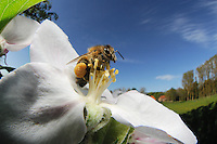 Honey Bee (Apis mellifera) collecting pollen from the flower of an Apple tree. Note the large pollen basket.
