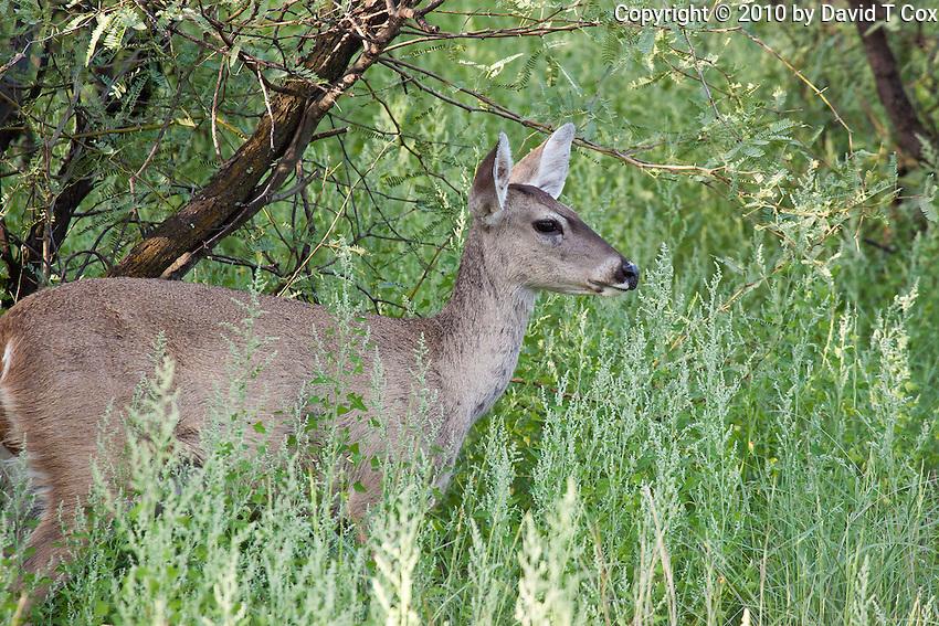 White-tail Deer, Patagonia Lake State Park, Arizona