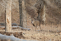 Whitetail buck in Wyoming during autumn rut walking among cottonwood trees