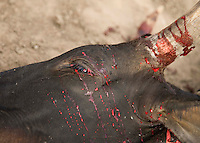 A bull is slaughtered by Dinka spearmen as part of the opening cermony of the Twic Olympics in Wunrok, Southern Sudan.