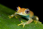 Green Bright Eyed Frog, Boophis viridis, Nr Mantadia National Park, Andasibe, Madagascar, Least Concern on the IUCN Red List, Mantellidae family endemic