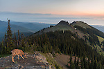 A blacktail deer is bathed in the first light of sunrise, on Deer Park in Olympic National Park.