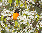 Baltimore Oriole (Icterus galbula) male perched amongflowers of Bradford pear (Pyrus calleryana) in spring, New York, USA