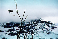 A bird flies from the dry branches of a dead beech tree in Tierra del Fuego National Park.