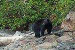 Black bear walking along shoreline in Canada