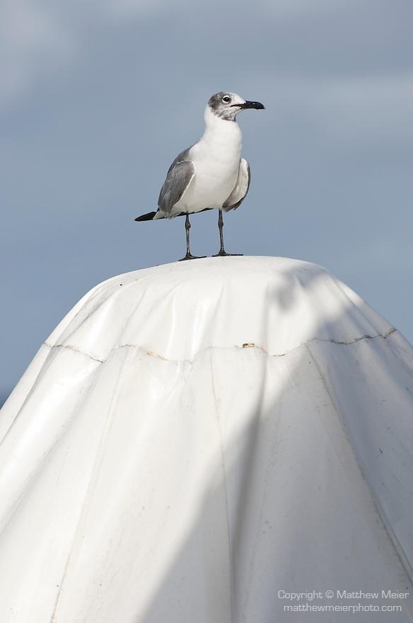 Bonaire, Netherlands Antilles; a juvenile Laughing Gull (Larus atricilla) bird stands on top of an umbrella at the Rum Runner's restaurant at Captain Don's Habitat , Copyright © Matthew Meier, matthewmeierphoto.com All Rights Reserved