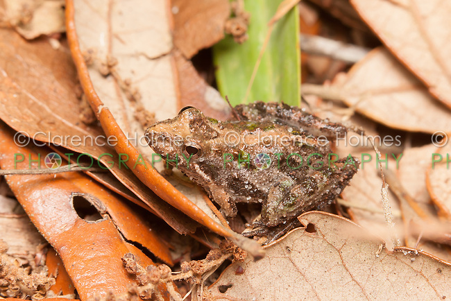 A Florida Cricket Frog (Acris gryllus dorsalis) sits motionless among leaves on the ground.