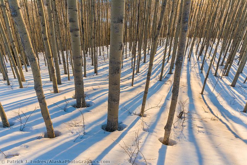 Grove of Quaking aspen trees in winter snow, Fairbanks, Alaska