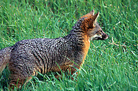 Island Kit Fox - Urocyon littoralis, Channel Islands National Park