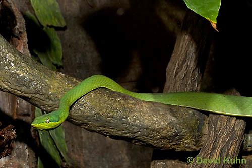 0122-08mm  Green Vine Snake - Amazon Vine Snake - Oxybelis fulgidus © David Kuhn/Dwight Kuhn Photography
