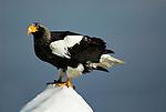 Steller s Sea Eagle, Haliaeetus pelagicus, on sea pack ice, Okhotsk Sea, Rausu, Hokkaido, Japan, japanese, Asian, wilderness, wild, untamed, photography, ornithology, snow, bird of prey, Vulnerable.Japan....