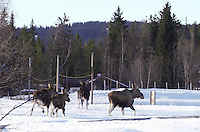 Norwegian moose, Alces alces.