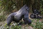 Mountain gorilla, Virunga National Park, Democratic Republic of Congo