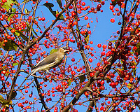 A cedar waxwing has a crab apple in its mouth in the middle of a crab apple tree in Fall loaded with red fruit with a blue sky background in New England.