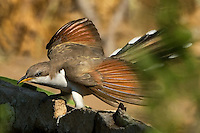 513580018 a wild yellow-billed cuckoo coccyzus americana perches on the edge of a water tank and flutters its wings on a ranch in the texas hill country in texas