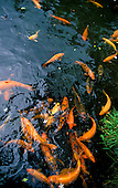 Carp pond located at the Buddhist temple on winward Ohau
