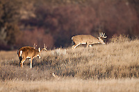 Whitetail deer (Odocoileus virginianus) bucks during the autumn rut