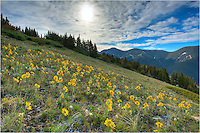 For this Colorado Wildflower image, I wanted to try something different. After a slog up nearly 2000 vertical feet, though a swampy forest, and up a steep boulder field, I found this slope along the Continental Divide filled with mountain sunflowers, also called &quot;Old Man of the Mountain.&quot;<br /> <br /> I shot several images looking into the sun and blended them together to show the sunflowers' point of view as they reached toward the warm sunlight. It was a nice July morning in the Rocky Mountains.