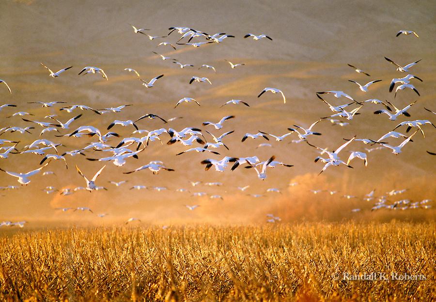 Snow geese in flight, Bosque del Apache NWR, New Mexico