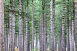 Pine Trees Trunks in Tentsmuir Forest Tayport Fife Scotland