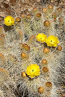 161260008 a wild mojave prickly pear cactus opuntia polycantha var erinacea produces large bright yellow flowers near eureka dunes inyo county california