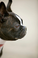7 June 2010: K9 doggie Saku Koivu a one year old boston terrier. Profile portrait of dog.